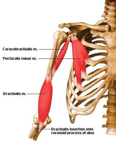 Musculus coracobrachialis || Med-koM