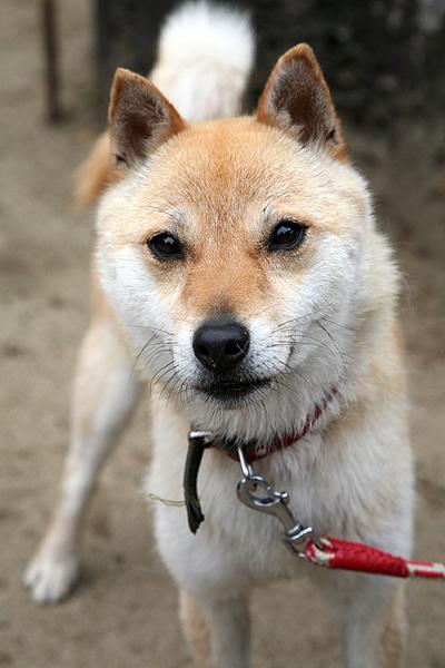 山陰柴犬鑑賞会 : 山陰柴犬ギャラリー