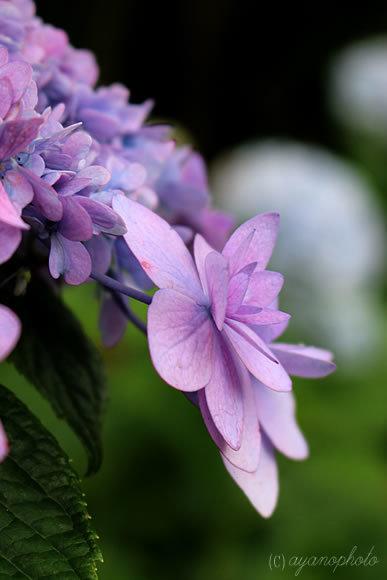 紫陽花、城が崎