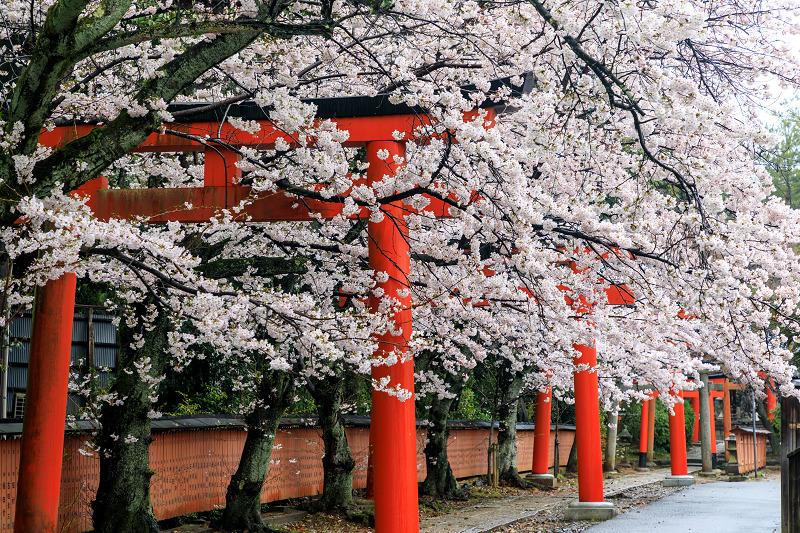 京都の桜2017 竹中稲荷の桜参道 - 花景色-K.W.C. PhotoBlog