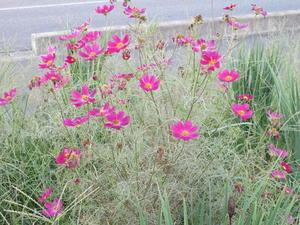 風に揺らぐ花・コスモス・・・3 - 米沢より愛をこめて・・