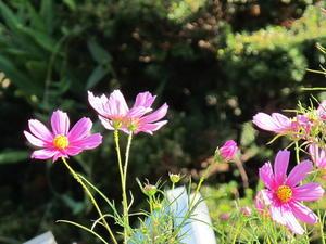 風に揺らぐ花・コスモス・・・4 - 米沢より愛をこめて・・