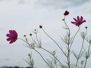 風に揺らぐ花・コスモス・・・5 - 米沢より愛をこめて・・