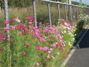 風に揺らぐ花・コスモス・・・6 - 米沢より愛をこめて・・