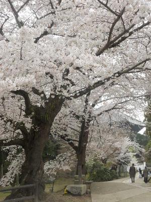 満開の桜で見送って - ぺこなっち -日々の徒然ー