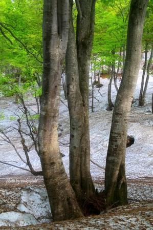 残雪に映えるブナ新緑@鍋倉山・茶屋池周辺 - 山旅、渓流、温泉、そして写真