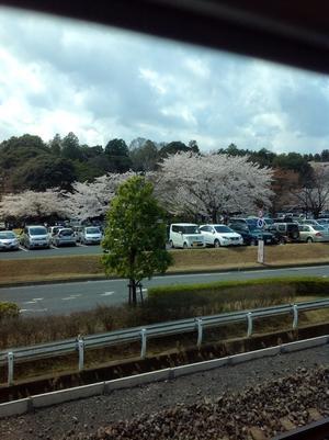 桜満開 - 毎日の暮らし。