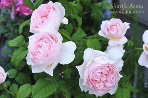 新しいブログ開設のお知らせ - JUDEの庭と薔薇のカヲリ