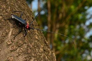 侵略的暗黒卿 - 蠢蝦螽蟷昆蟲記