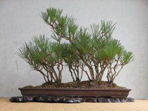 長月秋風・7 寄せ植え黒松 クロマツ - 《 盆草遊楽 》
