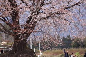 大坪の一本桜 - BETTERDAYS