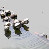 「アカミミガメ」対「淀姫」 - 鯵庵の京都事情