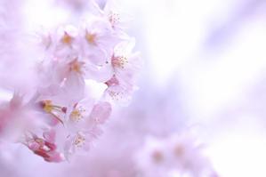 春の使者 - sha-la-la