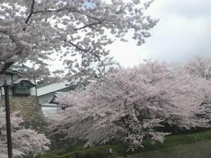 桜便り。。。NO3 - ゆうめいの部屋