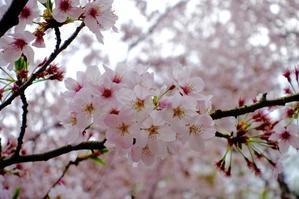 桜開花 - 『行き当たりばったり?!』