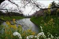 東京の桜開花は三月二十二日、満開は三十一日だそう - 生きる歓び Plaisir de Vivre。人生はつらし、されど愉しく美しく
