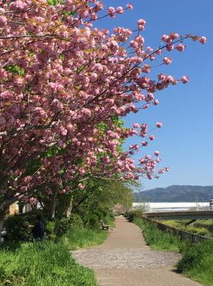 八重桜の下で食べたお弁当 - おうち*