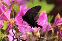 ツツジ:蝶が好む花(2011-2016) - Butterfly & Dragonfly