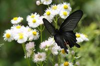 ハルジオン:蝶が好む花(2011-2016) - Butterfly & Dragonfly