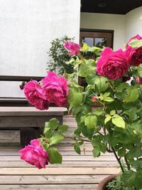 6月レッスン案内 - Groseille グロゼイユ~四季のお庭とぼちぼちお花活動~