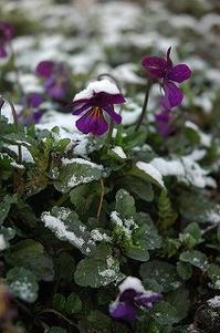 うっすら積雪、4月の朝 - 空ヤ畑ノコトバカリ