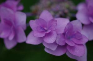 紫陽花 - Photo Diary