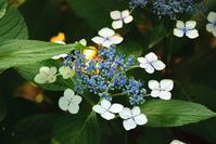 紫陽花 - FUJIFILM Xシリーズで撮るフォトブログ