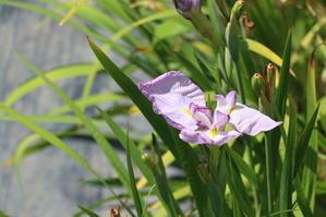 水と緑と花の長井あやめ公園・・・6 - 米沢より愛をこめて・・