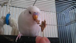 キビ穂食べれたよ♪大人しインコの空ちゃん♪亀のカトちゃん卵を産んだよ - *しゅきしゅきしゅきよ~!インコさんブログ*
