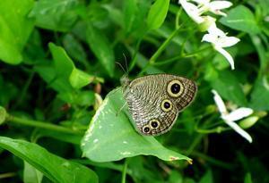 ウラナミジャノメ2化8月28日 - 超蝶