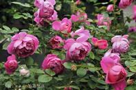 コロンコロンの薔薇 - 彼とカヲリの庭の関係