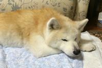 大和のシニアライフ №1 - 秋田犬「大和と飛鳥丸」の日々Ⅱ