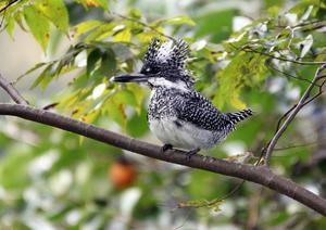 ヤマセミ(Crested kingfisher)その5 - 下手の横好き!