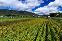 え!?今頃ひまわり大原野 - 花景色-K.W.C. PhotoBlog