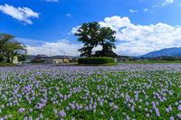 満開のホテイアオイ(本薬師寺跡) - 花景色-K.W.C. PhotoBlog