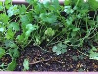 パクチー栽培まとめ - 3F garden(屋根付水耕)