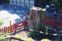 物いわぬストーリーテラー 鶴岡八幡宮の大銀杏 - 渋谷のつま先