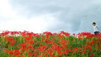 気温14℃、真野川の彼岸花が七分咲き・・・・・朽木小川・気象台より - 朽木小川・気象台より、高島市・針畑郷・くつきの季節便りを!