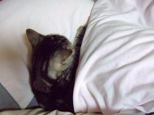 枕を占領するねこ - U-LALA