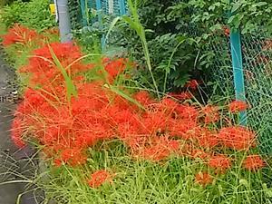 """柳瀬川に架かる城前橋付近の""""曼珠沙華"""" - 健気に育つ植物たち"""
