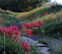 畦の彼岸花 - 休日はタンデムツーリング