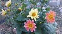 やっと咲き始めたダリアと息子のER来院・・・ - 今、楽しいことについて。