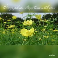 「黄色の秋桜たち」昭和記念公園 - わたしの写真箱 ..:*:・'°☆