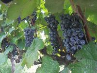 果樹園 と ぶどう と ワイン - Den設計室