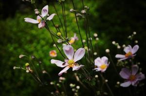 善峯寺の秋明菊 - たんぶーらんの戯言