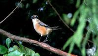 モズの高鳴き - ずっこけ鳥撮り日記