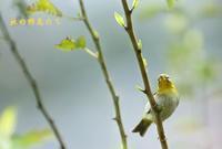 メジロ - 北の野鳥たち