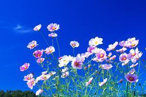 満開のコスモス畑 - 北国の花鳥風月