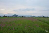橿原 藤原宮跡 コスモスは今 - ぶらり記録(写真) 奈良・大阪・・・