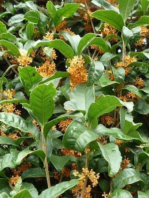 金木犀の花が見頃を迎えました。 - 『XVI』のブログII
